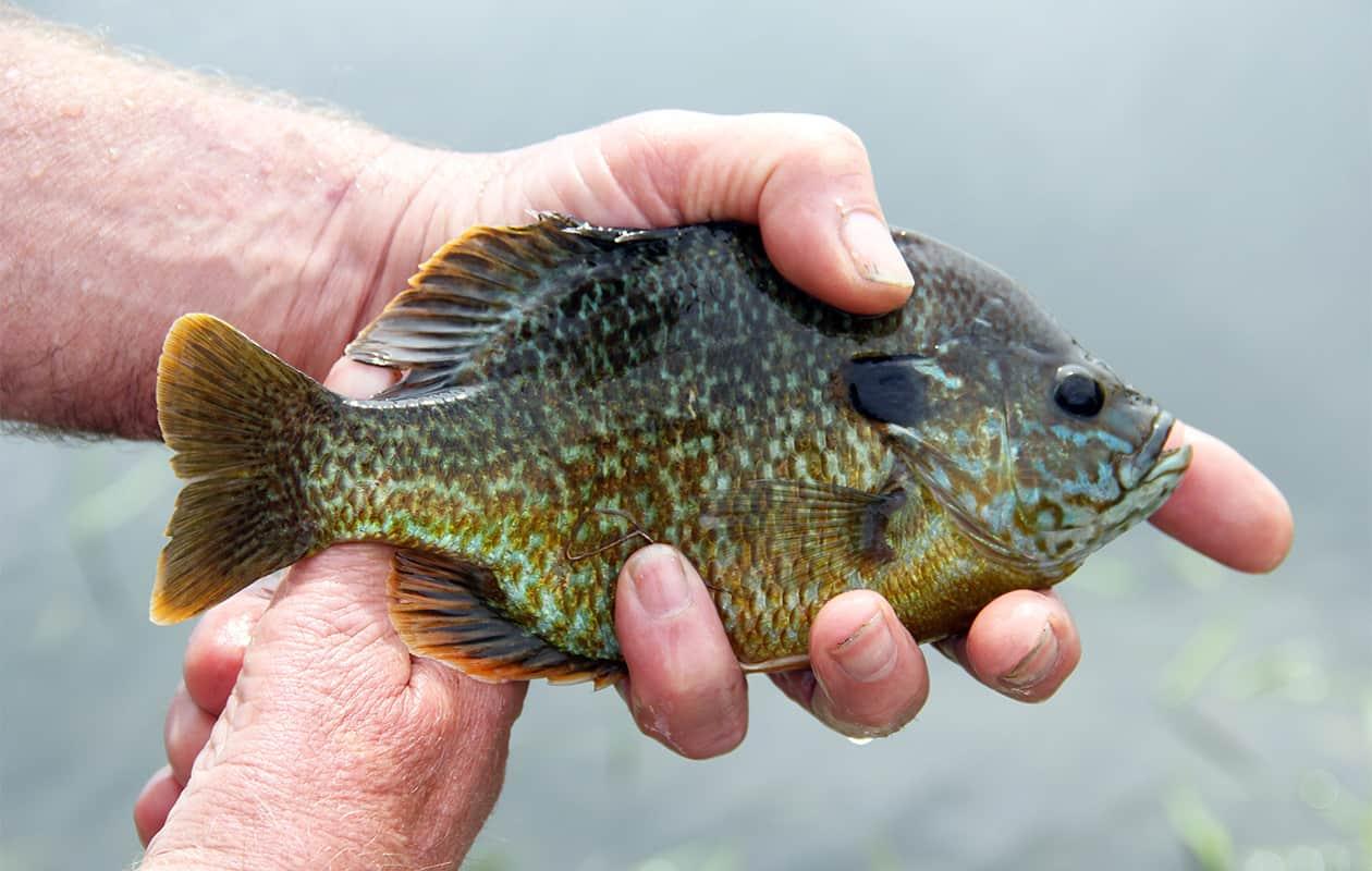A fisherman holding a small bluegill fish