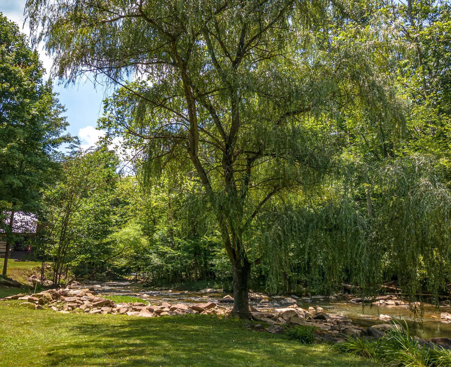 Large willow tree on the banks of Rich Creek at Four Fillies Lodge